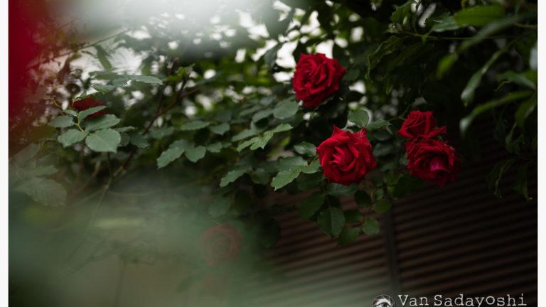 薔薇の変化