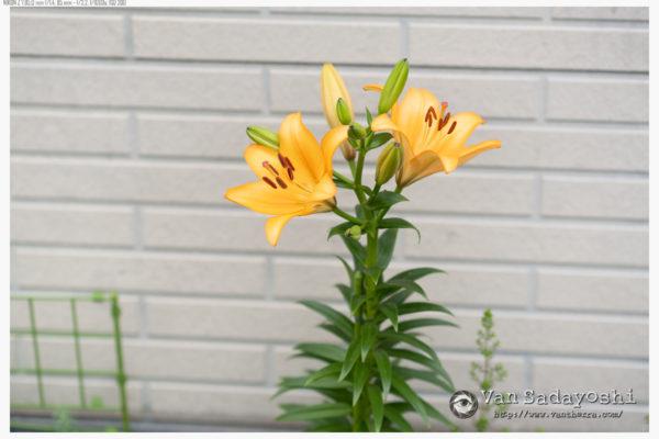 長めのレンズで花を撮っていて思うこと